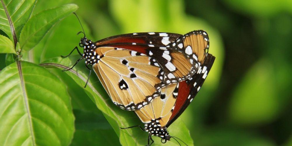 Mac Butterflies